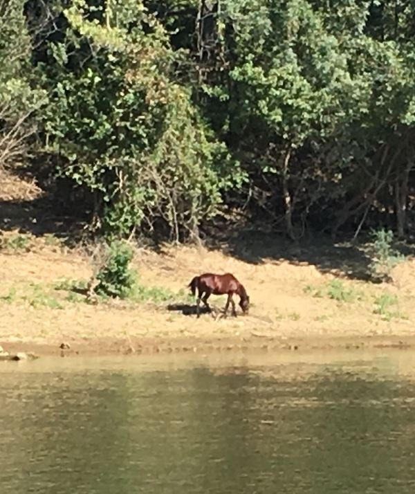 Wild horse on the Cumberland river with a halter on.
